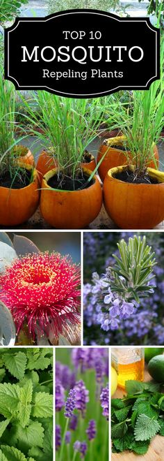 Mosquito repelling plants.