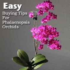Easy Buying Tips For Phalaenopsis Orchids