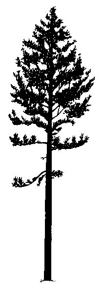 Lodgepole Pine Silhouette