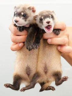 Blackfooted Ferrets at the National Blackfooted Conservation Center!  Photo Credit: Kimberly Tamkun USFWS