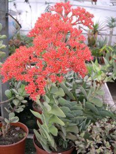 Crassula perfoliata v. falcata