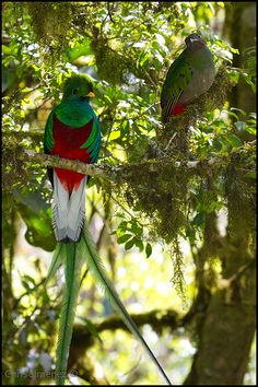 Resplendent Quetzal Couple watching over the nest | Flickr - Photo Sharing!