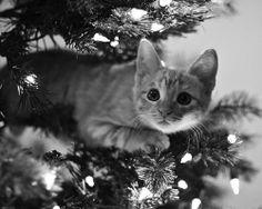 Cat in a christmas tree - Katzen - Gatos Pretty Cats, Beautiful Cats, Animals Beautiful, Funny Cats, Funny Animals, Cute Animals, Cute Kittens, Cats And Kittens, Crazy Cat Lady