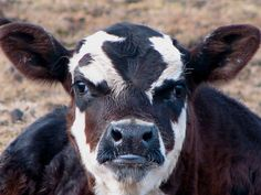 Another Young Cow by audreyjm529, via Flickr