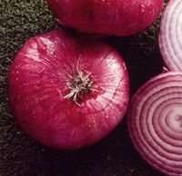 If given 6 hours of sun a day, the Red Burgundy Onion plant can produce onions with snowy white flesh, deep red rings and smooth, red skin. This vegetable plant is great for slicing or adding flavor to fresh salads.