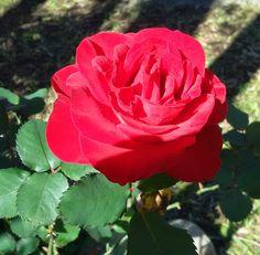 Ensolarada rosa vermelha.