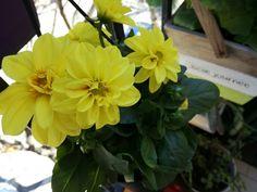 Gheolandia Garden  #Gheolandia #GiardinoVerticale #Garden #Flowers #BalconiFioriti #OrtoVerticale #Primavera #GiardinoDiErbeAromariche #UrbanGarden #GardenLovers #Gheorghia