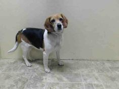 Brooklyn Center   JESSICA - A0995425   FEMALE, TRICOLOR, BEAGLE, 6 yrs STRAY - ONHOLDHERE, HOLD FOR ID Reason STRAY Intake condition NONE Intake Date 04/01/2014, From NY 11434, DueOut Date 04/04/2014,  https://www.facebook.com/photo.php?fbid=780811811931700&set=a.617941078218775.1073741869.152876678058553&type=3&theater