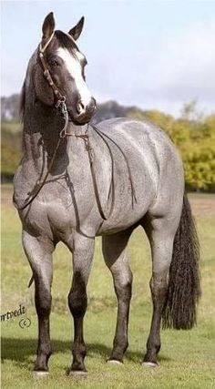 Blue roan quarter horse stallion with a real horsehair tail, just not his own . Most Beautiful Horses, All The Pretty Horses, Animals Beautiful, Hello Beautiful, Horses And Dogs, Wild Horses, Black Horses, Blue Roan Horses, Gray Horse