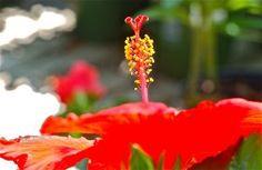 Red hibiscus detail; Donaroma's Flowers, Nursery; Edgartown, Martha's Vineyard, Massachusetts, USA.  July 2015.