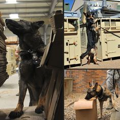 Military Working Dogs 101 - Chapter 2(g): Walking Patrol - Industrial Search  A well trained Military Working Dog can replace 50 to 100 humans on a search for intruders, suspects or missing people. No alternatives exist that are as proficient or as cost effective.