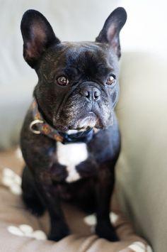 'Stoic' French Bulldog