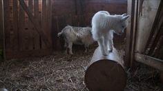 Våra killingar och lamm två veckor gamla som dansar runt i lagårn.