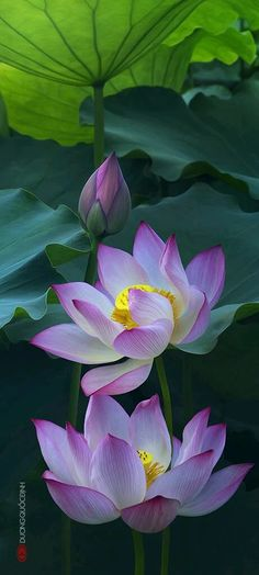 Photo: Pink lotus  Breath in deeply and let your life unfold..