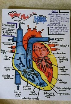 Blood Flow in the Human Heart