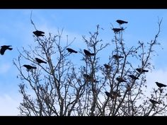 There's no better way to celebrate Halloween than by snuggling up with this mesmerizing PBS documentary, A Murder of Crows, first aired in 2010 and now available free online. We actually get to see some of the experiments that offered solid evidence that crows are breathtakingly smart tool users. - Biology