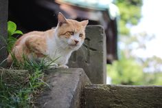 cat straycat at a temple 野良猫