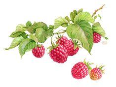 Watercolor Berries by Natalia Tyulkina, @Behance at http://tyulkina.com/ #coolart #watercolor