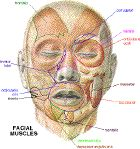 Good site for musculature.