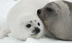 Cute Funny Animals, Cute Baby Animals, Animals And Pets, Cute Seals, Harp Seal, Underwater Animals, Seal Pup, Cute Friends, Sea Creatures