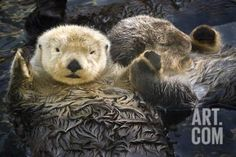 Two Sea Otters Holding Paws at Vancouver Aquarium in Vancouver, British Columbia Canada Photographic Print by Design Pics Inc at Art.com
