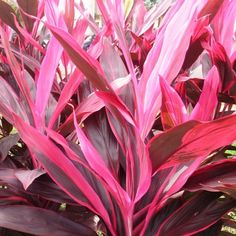 Bright handsome accent plant will add vibrant year-round colour to your sub-tropical garden. Hot pink and purple stripes make a stunning contrast with silver-leaf plants and yellow or orange flowers. Colorful Plants, Colorful Garden, Tropical Garden, Tropical Plants, Tropical Landscaping, Landscaping With Rocks, Pool Landscaping Plants, Landscaping Ideas, Ti Plant