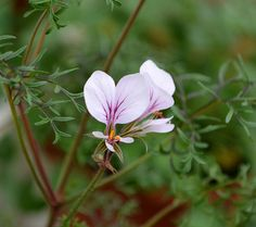 Castles Gardener - Indigenous South African - Pelargonium longicaule