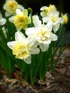 Daffodils, my favorite flower