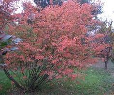 amelanchier lamarckii - Google Search