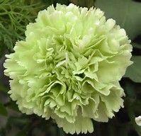 Green Carnations