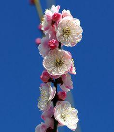 Japanese apricot / Prunus mume, Osaka Castle Garden, Japan