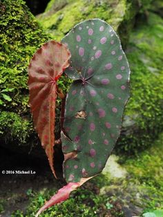 Begonia malachosticta  The rainforests of Borneo & Southeast Asia: Travel from lowland forest to montane forest of Sabah