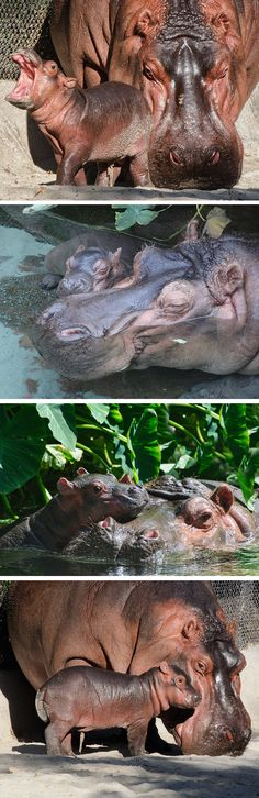 The San Diego Zoo welcomed a new baby hippo calf on Friday. Nature Animals, Felt Animals, Baby Animals, Reptiles, Mammals, Forest Habitat, Baby Hippo, San Diego Zoo, Majestic Animals