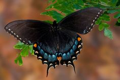 Darrel Gulin Photography | Gallery | Butterflies I Eastern Tiger Swallowtail black version