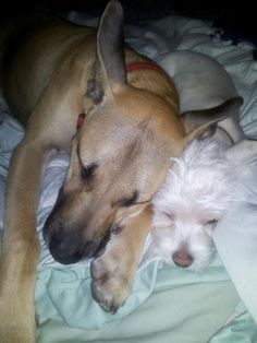 Love my puppies.  German/Dane and Westie