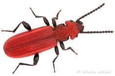 Cucujus cinnaberinus     The Cinnabar flat bark beetle.