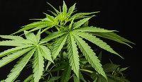 Marijuana, dincolo de mituri şi mistificări: ce spune ştiinţa