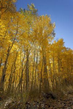 Yellow Autumn Aspen árboles, Sierra Nevada Range, California