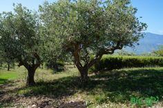#sanlupo #benevento #olio #ulivo #territorio #natura