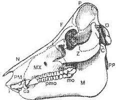 Cow teeth anatomy