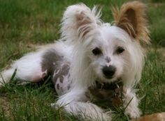 Pongo is an adoptable Chinese Crested Dog Dog in Crompond, NY. Meet Pongo, a polka dotted puppy!  He is an 8 month old Chinese Crested boy who is looking for a very special forever home.  Pongo is 7 p...