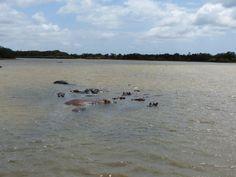 Ganze Hippo-Familien kühlen sich im Fluss ab