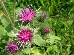 "Burdock - ""Arctium lappa"" - 100 seeds or dry root - 1 oz. / Medicinal Herb, Wild Harvested, NON GM Eczema Psoriasis, Urinary Tract Infection, Rheumatoid Arthritis, Medicinal Herbs, Calendula, Herbal Medicine, Dried Flowers, Hair And Nails"
