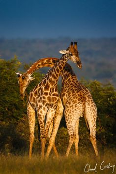 Necking Giraffes - South Africa