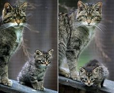 The rare Scottish wildcat. This kitten carries the hopes of its species on its tiny shoulders. Breeding with domestic cats and habitat loss have pushed the Scottish Wildcat to near extinction Small Wild Cats, Small Cat, Big Cats, Cool Cats, Cats And Kittens, Wild Creatures, Woodland Creatures, Beautiful Cats, Animals Beautiful