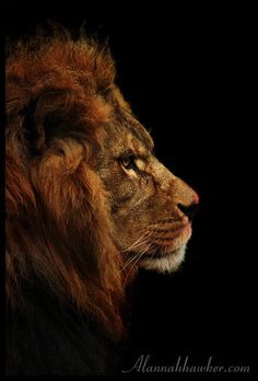 Lion. by Alannah-Hawker.deviantart.com on @DeviantArt