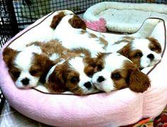 So cute! Just love Cavalier babies