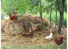 """Chickens and compost are """"a match made in heaven"""", because of their love of digging and scratching. You know all that labor-intensive, back-breaking work of having to turn your compost pile? Chickens will gladly do it for you!"""