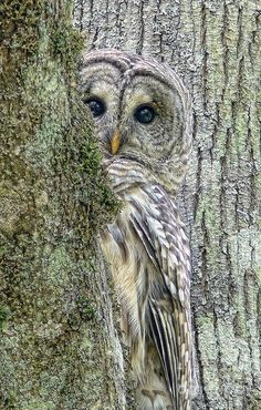 Shy Owl Trying to Blend In and doing a pretty good job of it too! Barred owl maybe?