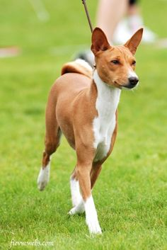 Basenji dog - another breed that intrigues me. Too cute!